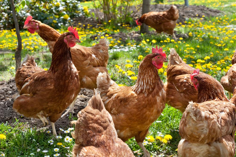 How to Raise Chickens in the Suburbs - Gildshire