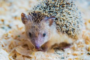 Owning a Pet Hedgehog