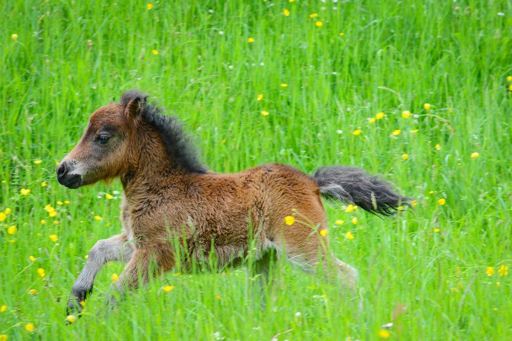 Tiny Wonders: The Magic of Miniature Horses - Gildshire