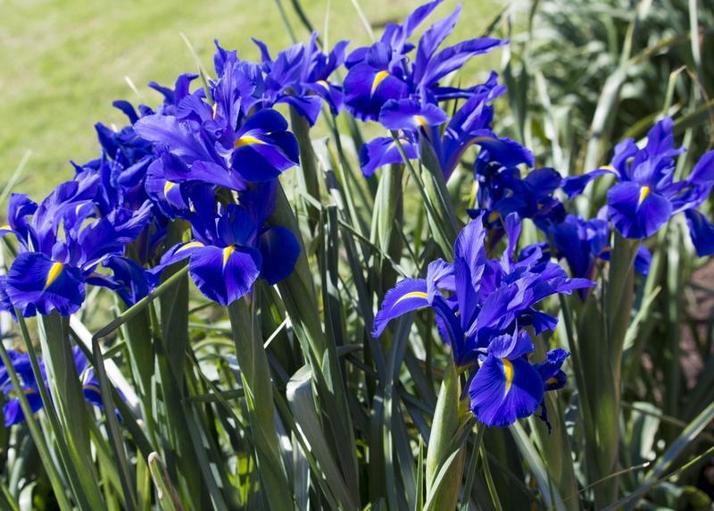 Gardening How To Plant Dutch Iris Bulbs In Pots