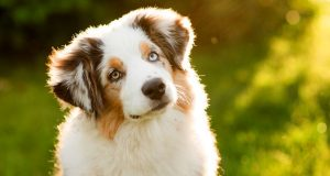 The Health Issues of Purebred Dogs