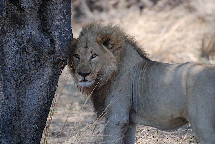 Lion in Katavi, Tanzania