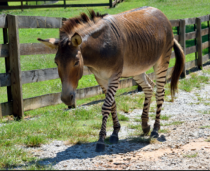 "A ""zonkey"" - a hybrid cross between a donkey and zebra"