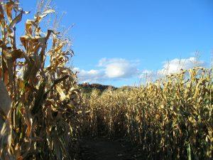 A corn maze labyrinth