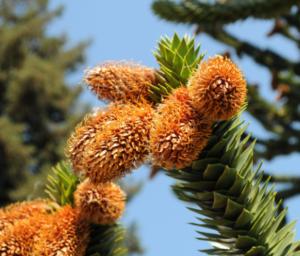 Monkey puzzle tree cones