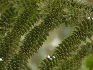 Overlapping leaves on the monkey puzzle tree