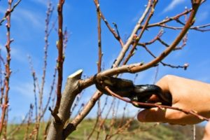 Prune those fruit trees, Zone Six!