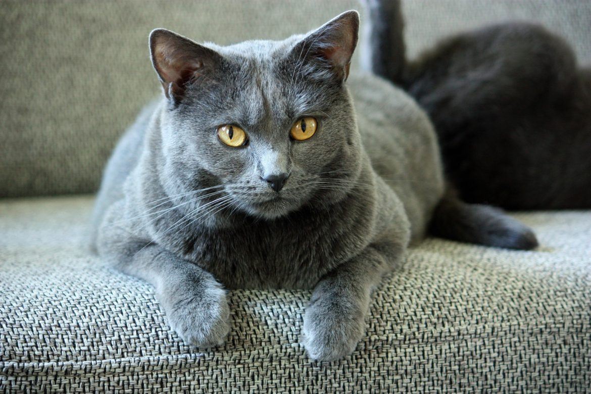 Top Cuddly Cat Breeds