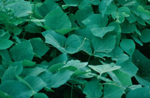 Closeup of kudzu leaves