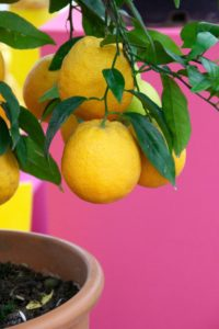 Meyer lemons are round and small