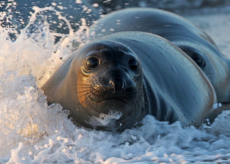 The number of seals with injuries caused by plastic and fishing paraphernalia is on the rise