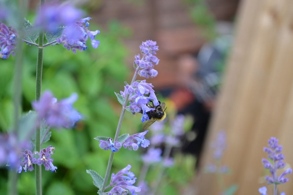 Catmint is similar in appearance to lavender