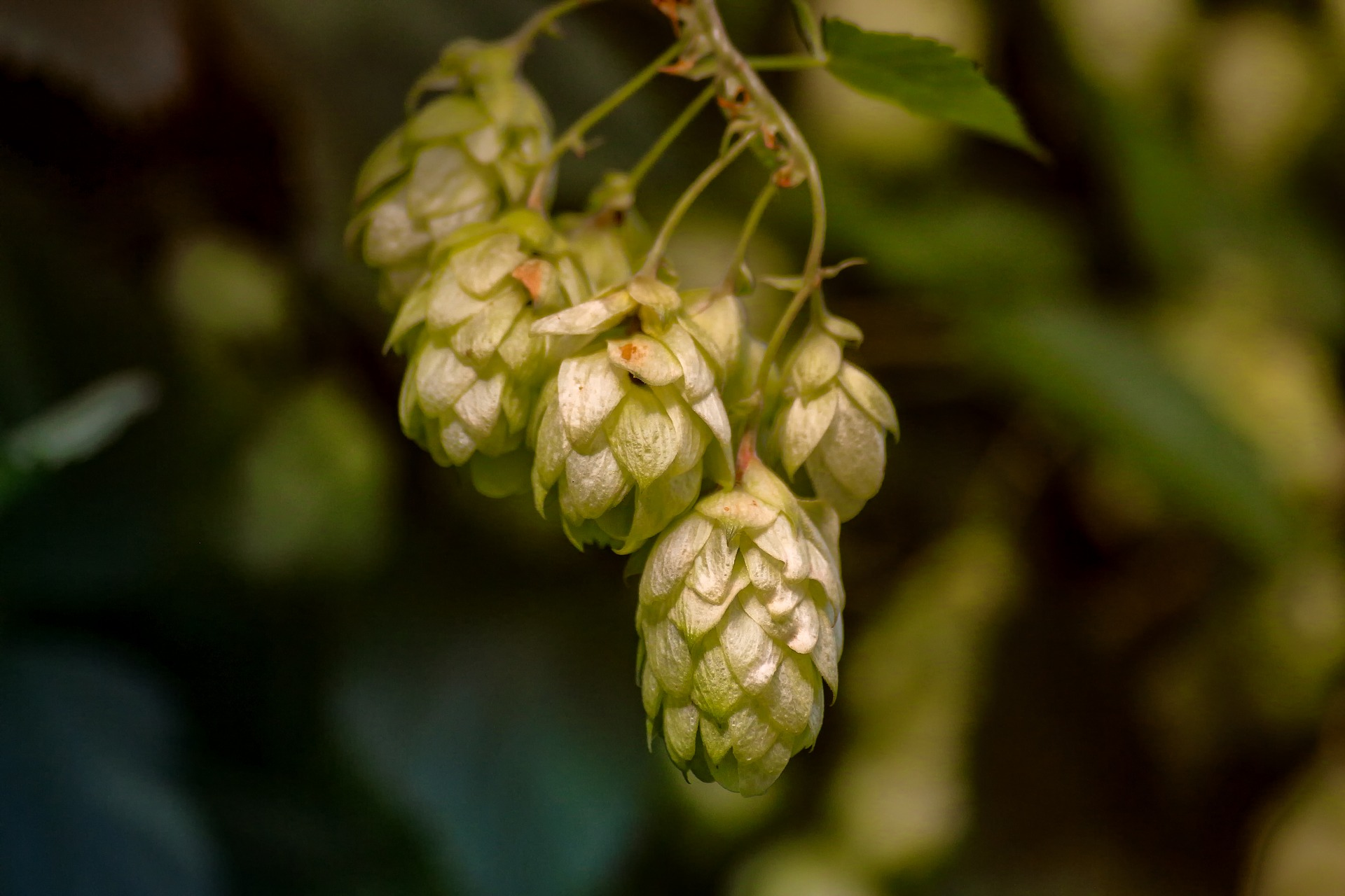 This new yeast could be used to make beer totally free of actual hops. It took the scientists three years to get the right aroma and flavors, and after a blind taste test, brewers couldn't tell the difference between beer made with real hops and beer made with the modified yeast.