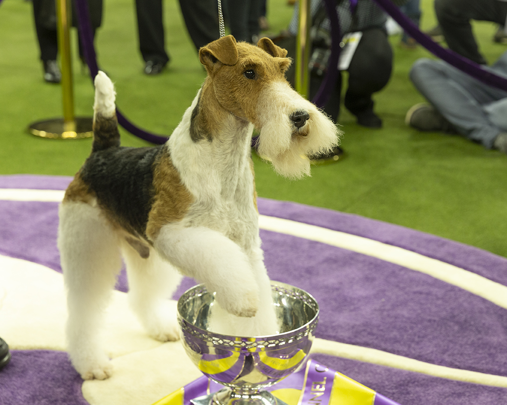 Wire Fox Terrier Claims The Westminster Dog Show Throne