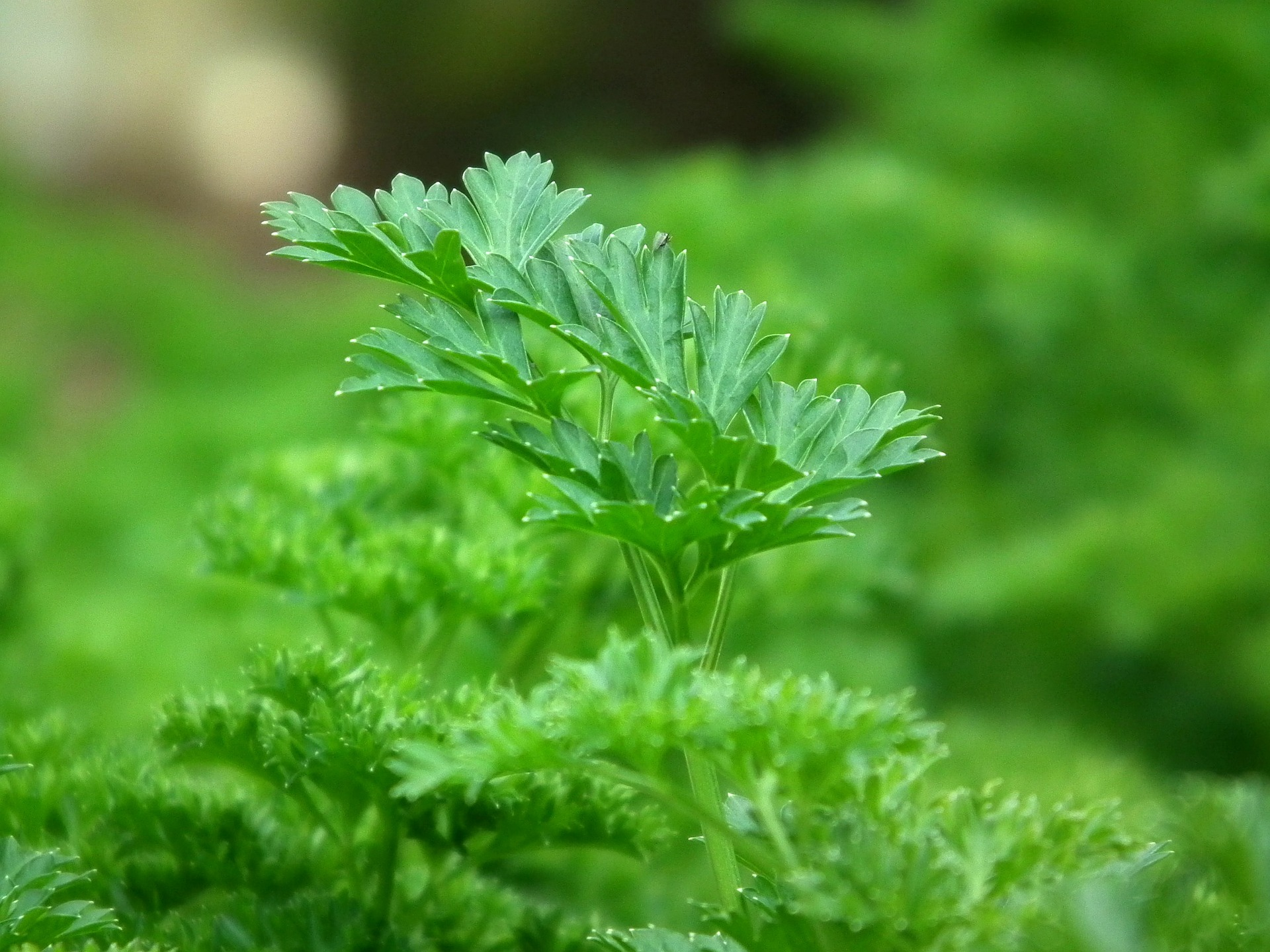 A very easy plant to grow, parsley has a long history of use in veterinary medicine.