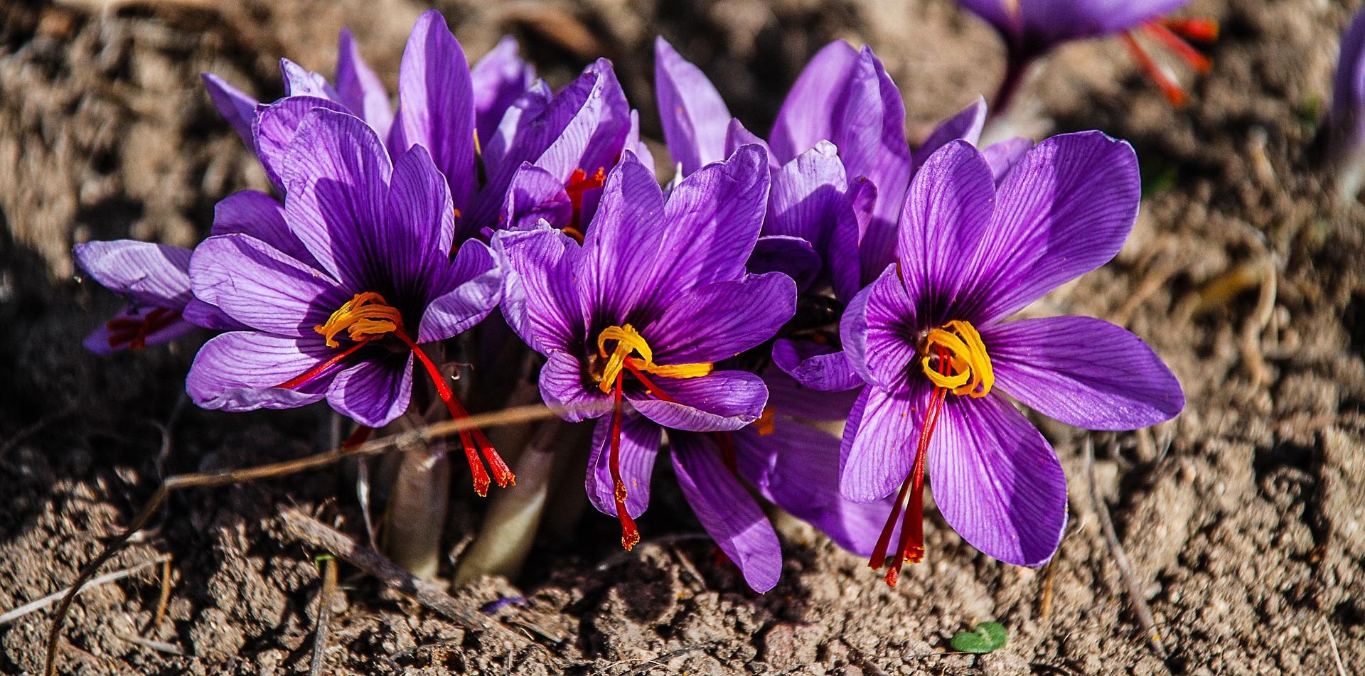 Saffron comes from the crocus flower, specifically the Crocus sativus.