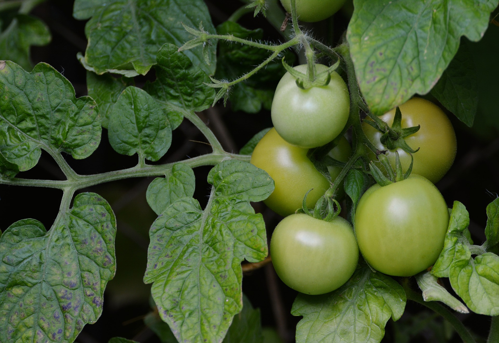 How Fried Green Tomatoes Went From The North To the South 