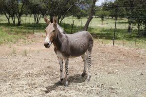 Animal Hybrids - Zonkey