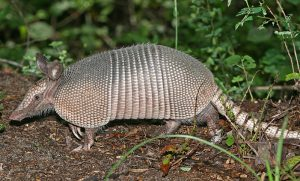 How to Keep Armadillos from Ruining Your Landscaping or Garden
