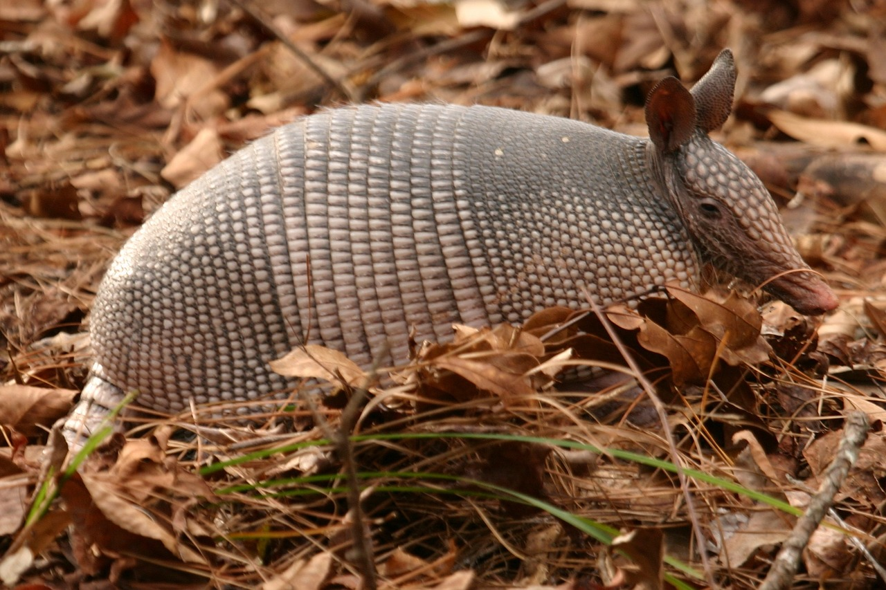 How to Keep Armadillos from Ruining Your Landscaping or Garden - Gildshire