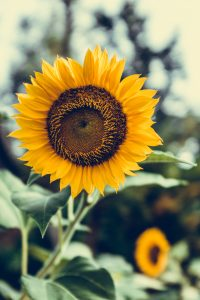 Delightful Facts About Sunflowers