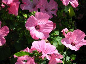 "Lavatera trimestris, or ""Pink Blush"""